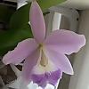Stellar Orchids