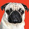 Shaq The Pug