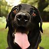 Percy The Labrador