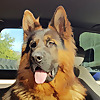 German Shepherd/Owczarek Niemiecki - Major