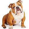 The Great British Bulldog Channel