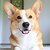 Topi The Corgi