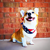 Cooper the Happy Corgi