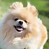 Thor The Pomeranian