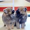 Pomo & Pomi ( Pomeranian )