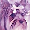 Keta the Parti Yorkshire Terrier