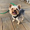 Teddy the tiny terrier TM