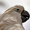 Buttons Cockatoo