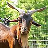 Because Goats!