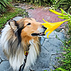 Collie Chatter