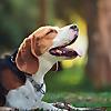 Beagles Life