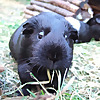 The Guinea pig Guru