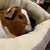 guinea pig news