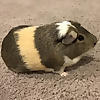 PADDINGTON the guinea pig