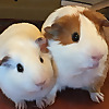 Guinea Pig Train
