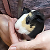 Guinea Pig Retreat