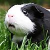 Guinea pig BW