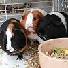 Guinea pig Adventures