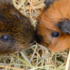 THE WONDERFUL WORLD OF GUINEA PIGS