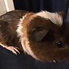 Guinea pig Hedgehog