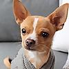 Eddie the Chihuahua